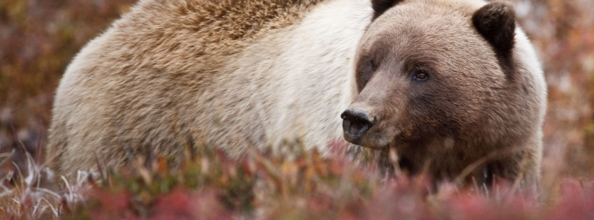 Grizzly-Bear-In-Wild-315x851