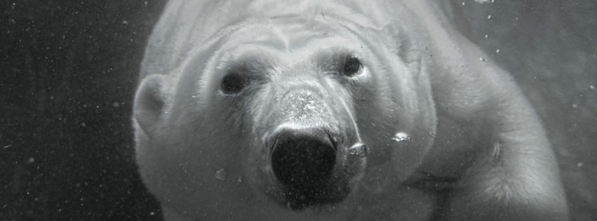 Mammalia-Ursidae-Polar-Bear-Black-and-White-315x851
