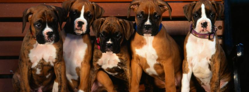 animals-boxer-dog-dogs-puppies-851x315-104153