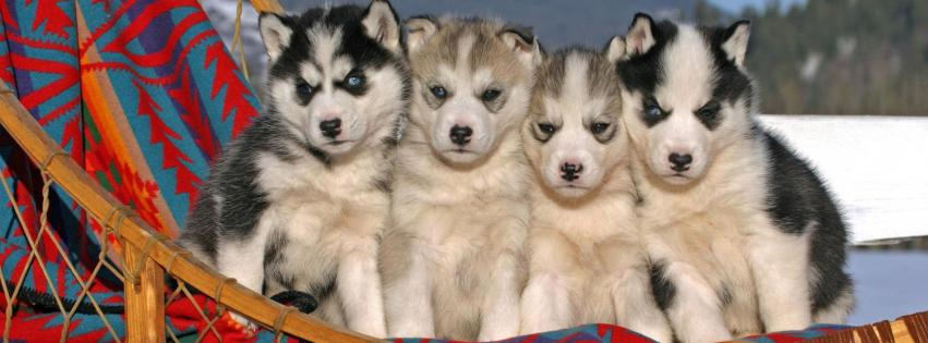 animals-dogs-husky-puppies-851x315-59215