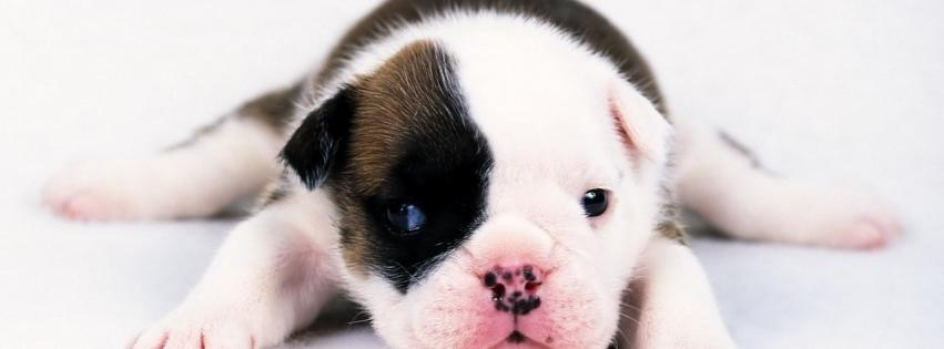 animals-dogs-puppies-bulldog-851x315-1926