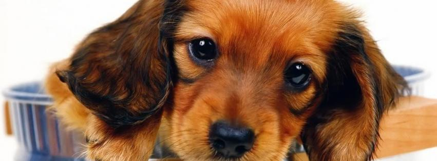 animals-dogs-puppies-daschund-faces-851x315-3946