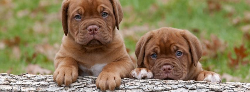 animals-dogs-puppies-dogue-de-bordeaux-851x315-10347