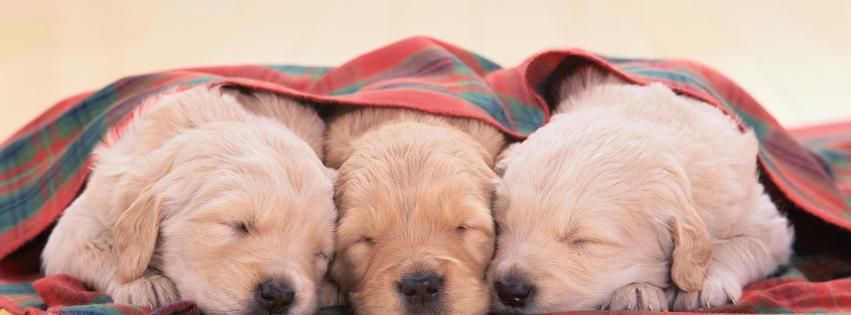 animals-dogs-puppies-sleeping-blanket-wooden-floor-851x315-56709