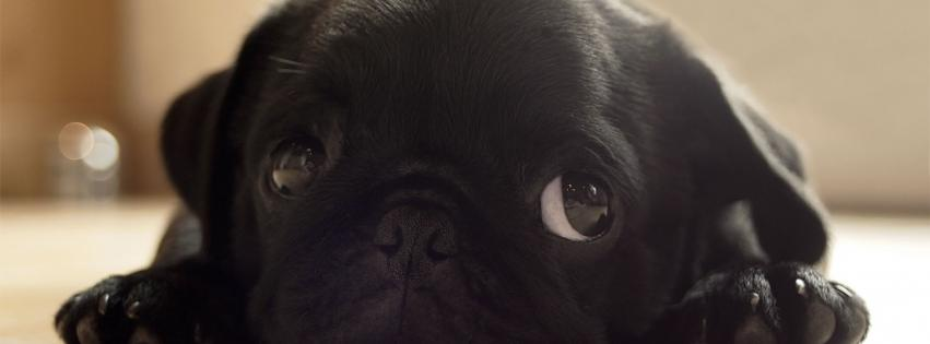 black-animals-dogs-pugs-puppies-pug-851x315-13938