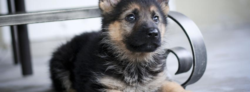 german-shepherd-animals-dogs-pets-puppies-851x315-13866