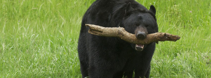 Black-Bear-mit-Stick-315x851
