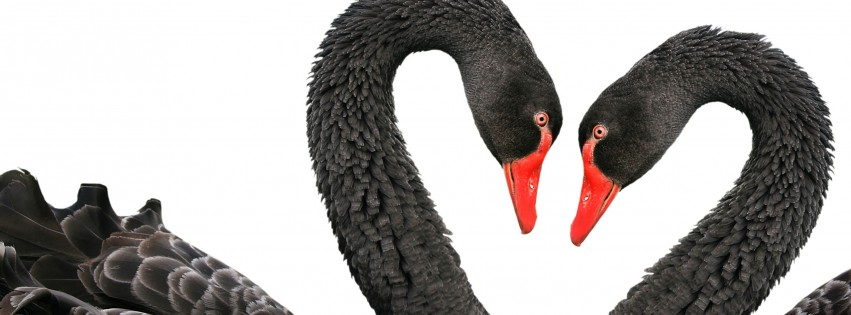 Black-Swans-Love-Heart-315x851