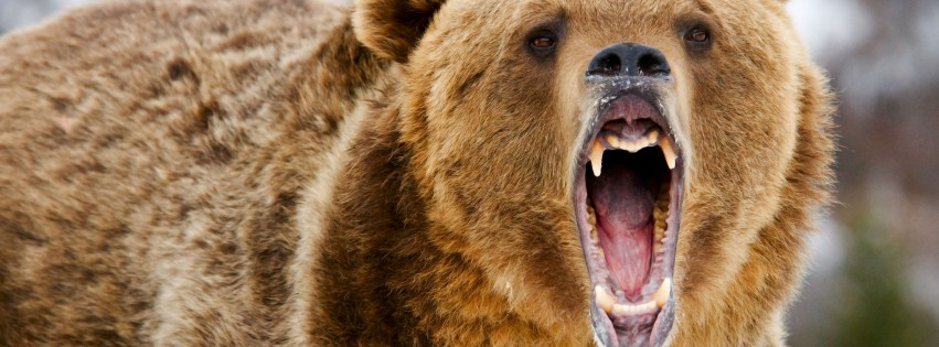 Grizzly-Bear-Roar-315x851