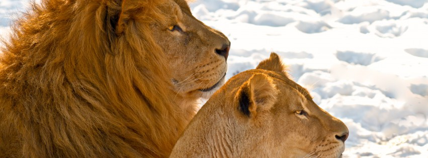 Lion-Couple-Schnee-315x851