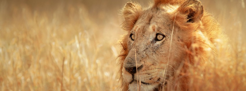 Lion-In-Long-Grass-315x851