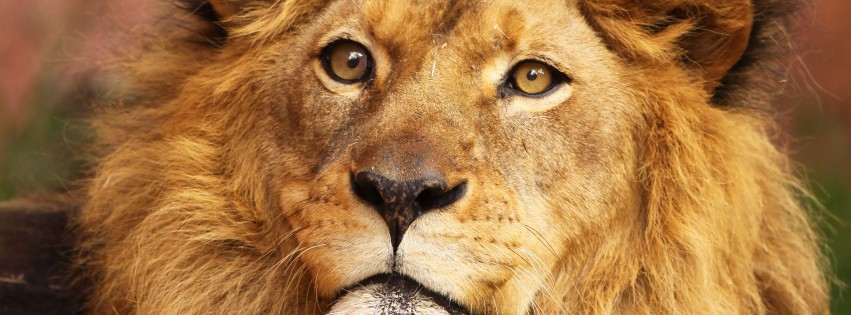 Lion-Portrait-315x851