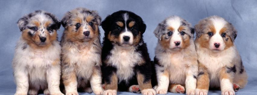 animals-australian-shepherds-dogs-puppies-simple-background-851x315-111472
